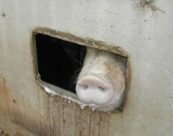 pig hole